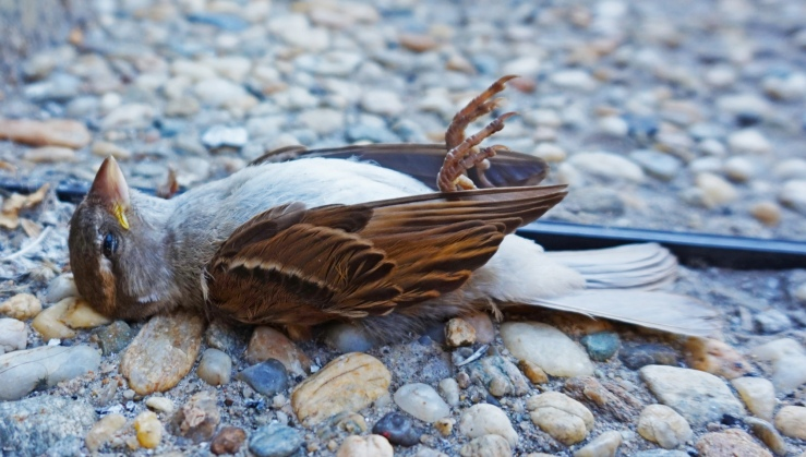 dead_bird_in_bucharest